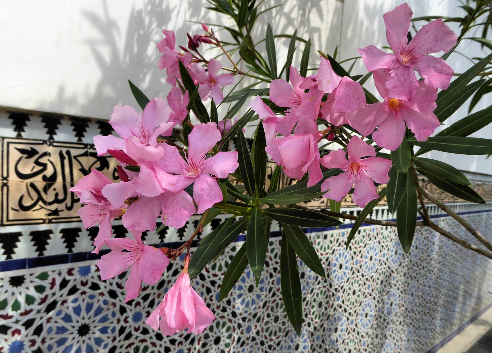 Oleander, Panasonic DMC-TZ61