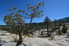 High Sierras Pine Trees and Rocks