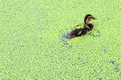 Baby duck lost in the green