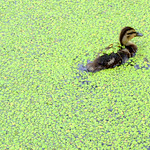 Baby duck lost in the greem