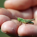 A Grasshopper In The Hand!