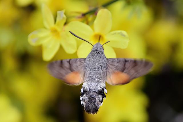 Языкан обыкновенный, Macroglossum stellatarum, Hummingbird hawk-moth, Nikon D7200, AF DX Fisheye-Nikkor 10.5mm f/2.8G ED