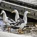 Trio of Magpie ducks