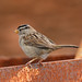 Black-Crowned Sparrow