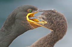 Shag feeding young