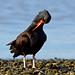 Black Oystercatcher - 094A9120b3cls.
