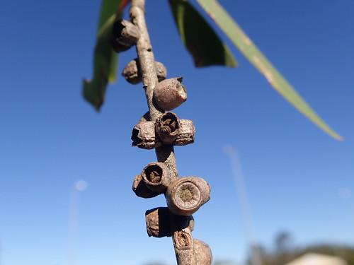 Melaleuca quinquenervia fruit NC 3