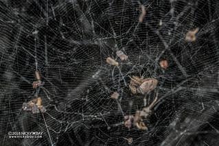 Tent web spider (Cyrtophora citricola) - DSC_2203