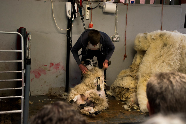 sheep shearing-14
