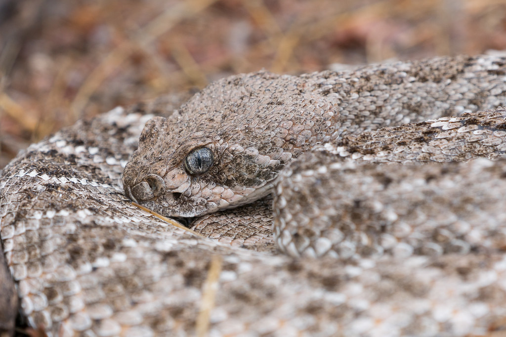 A close-up view of a western diamondback rattlesnake in the rain