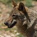 Lobo ibérico