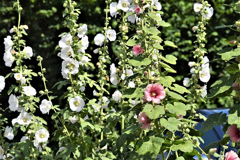 Hollyhocks 04.07 (2)