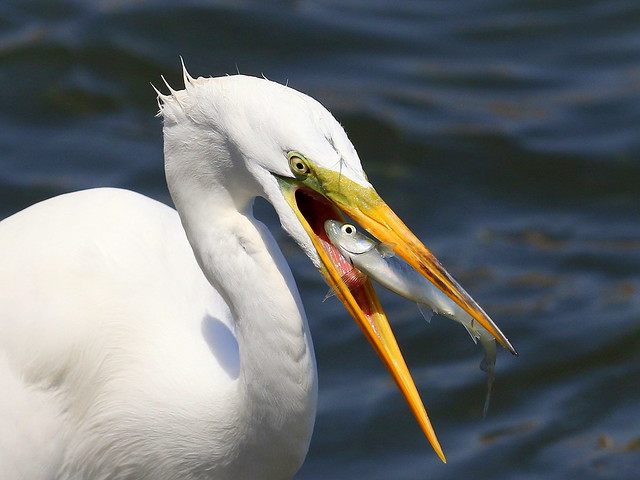 Great Egret, Canon EOS 7D MARK II, Canon EF 300mm f/2.8L IS II USM