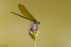 Demoiselle Calopteryx virgo femelle