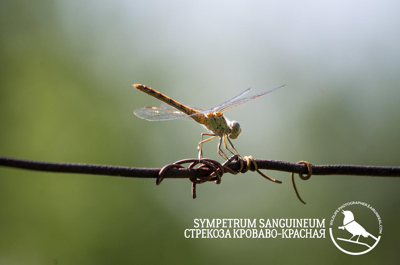 Sympetrum sanguineum // 20180806