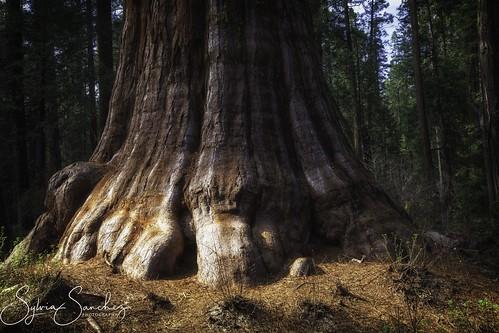 """""""BigFoot"""", Sequoia Giant"""