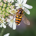 Hoverfly - Eupeodes latifasciatus