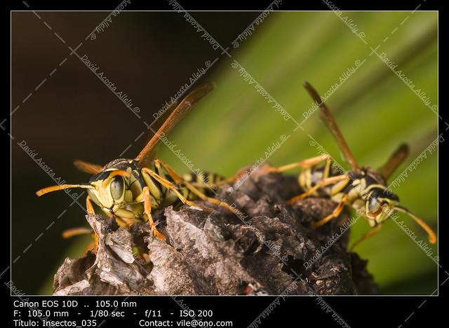 Wasps (Polistes bischoffi)