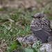 Spotted Flycatcher (juvenile) by Knutsfordian