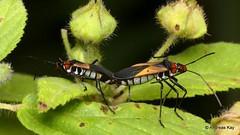 Leaf-footed Bugs mating, Leptoscelis sp., Coreidae