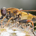 Hoverfly @ 80mm