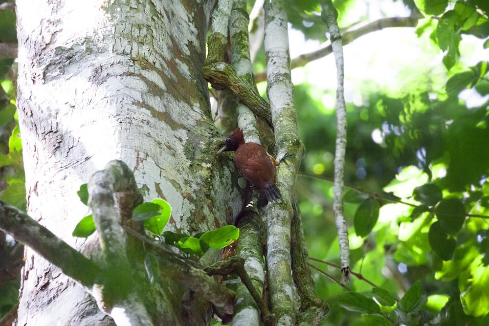 Шоколадный дятел-гренадер (Celeus elegans)