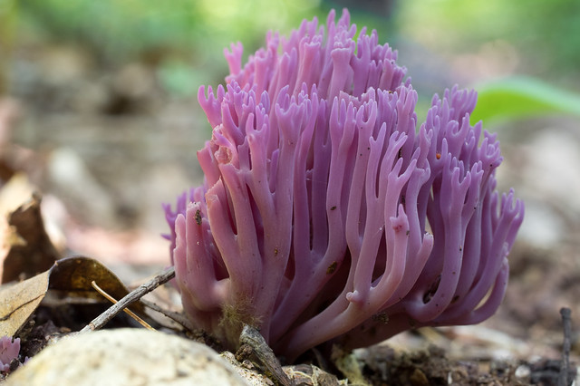 Violet Coral Mushroom (Clavaria zollingeri)