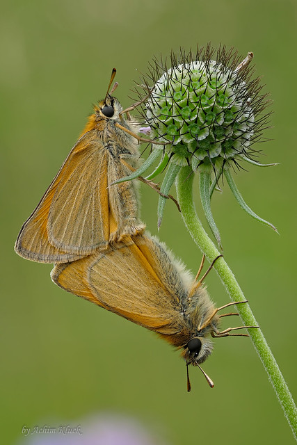 Braunkolbige Braun-Dickkopffalter (Thymelicus sylvestris) bei der Paarung