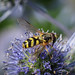 Hoverfly sp. - Dasysyrphus albostriatus