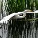 Great White Egret Ham Wall   F00319 D210bob DSC_2321