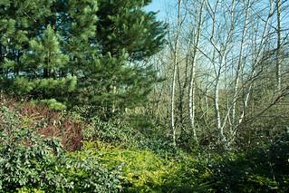 20180326-11_Silver Birch (Betula) - Cawston Grange