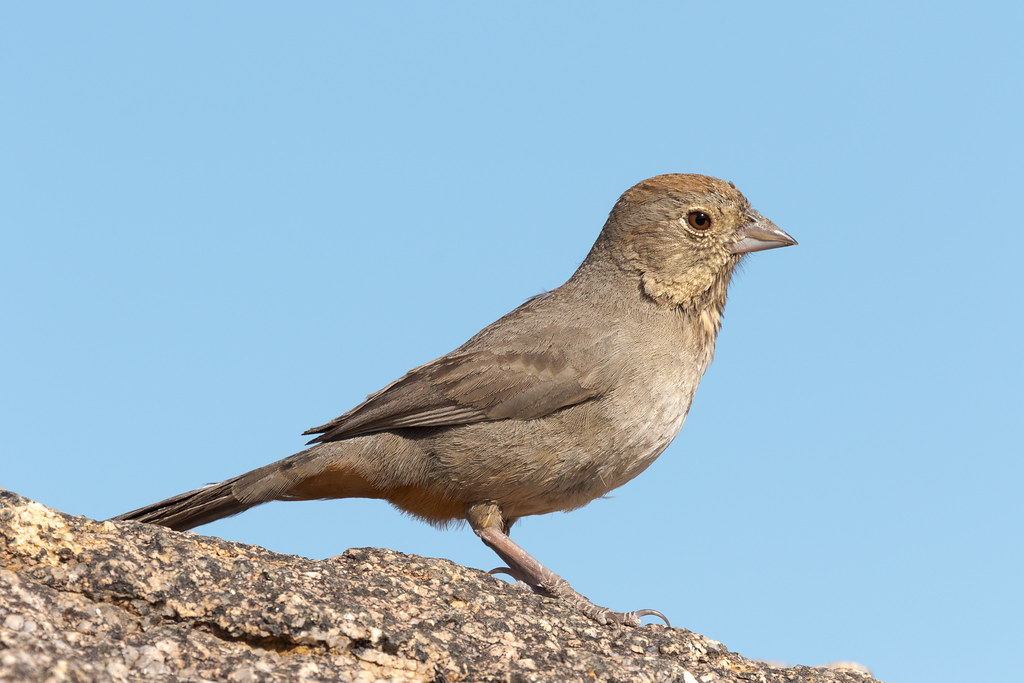 A side view of a canyon towhee at Balanced Rock in McDowell Sonoran Preserve