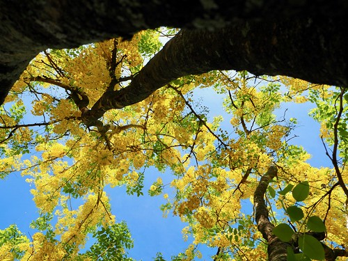 Golden Shower Trees