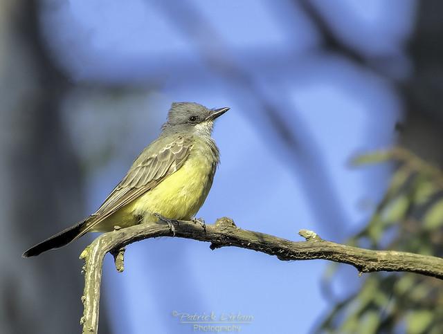 Cassin's Kingbird on a branch