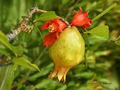 Au jardin ,  grenade et fleurs de grenadier