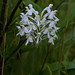 Platanthera conspicua (Southern White Fringed orchid) [Explored 2018-08-13] by jimf_29605
