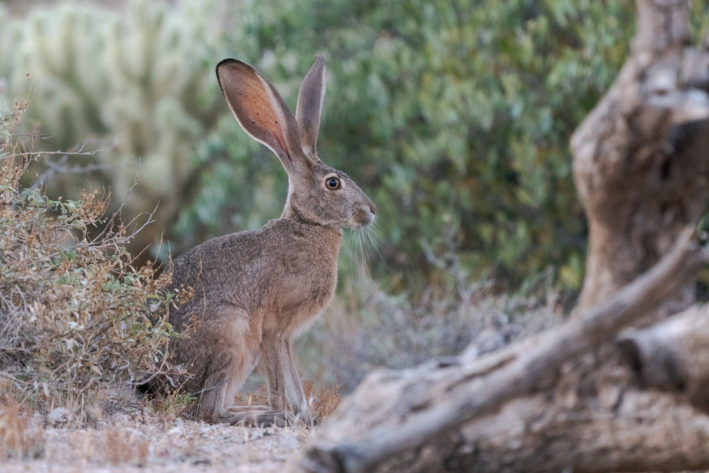 A black-tailed jackrabbit is visible through the desert scrub at the trailhead to Brown's Ranch in McDowell Sonoran Preserve