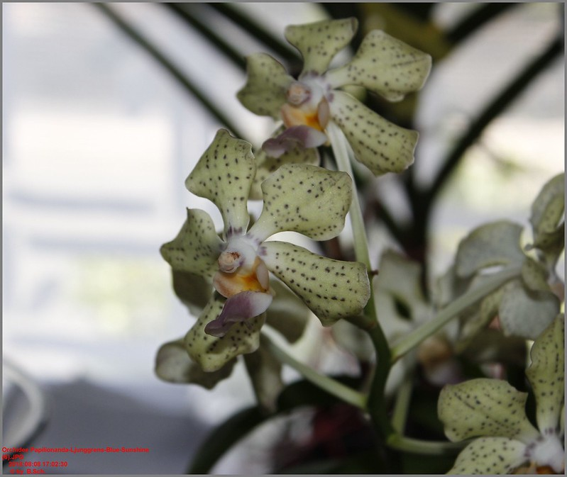 Orchideen-Neuzugang 2 - Seite 6 43928042241_f683b421b7_c