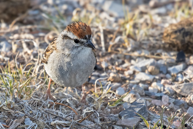 Chipping-Sparrow-64-7D2-061718