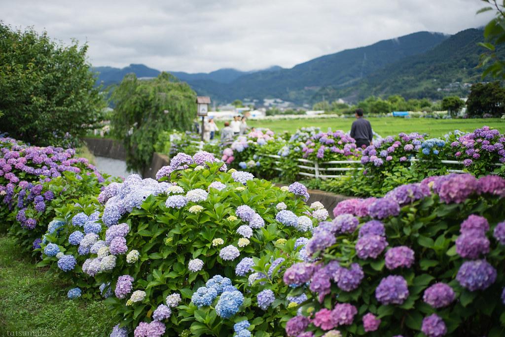 2018-06-16 開成町の紫陽花 001
