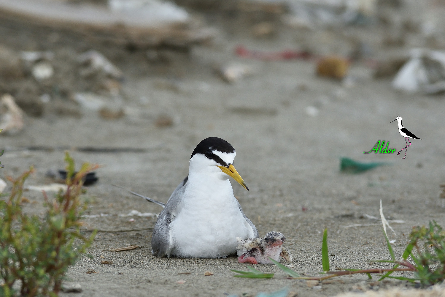 Little_Tern_7863