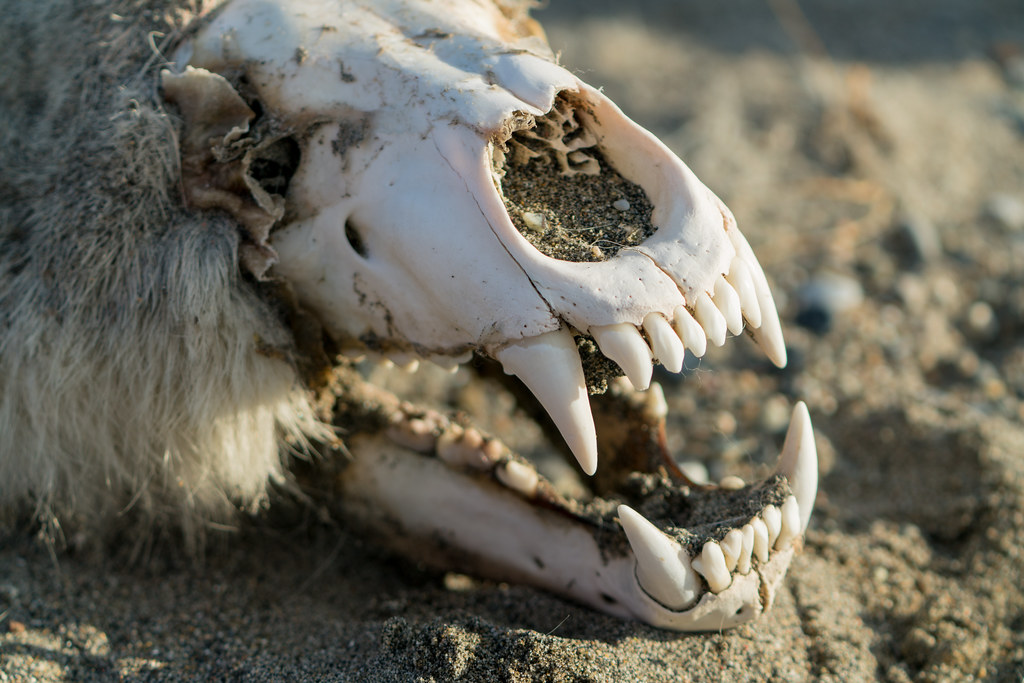 Polar Bear Skull | You can find bones, teeth, antlers, and r… | Flickr