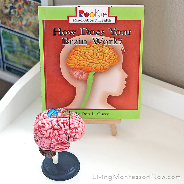 Human Brain Model with How Does Your Brain Work Book