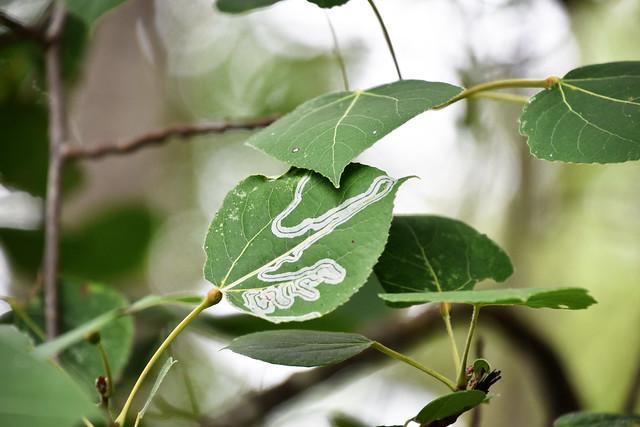 Leaf miner pattern on Cottonwood leaf