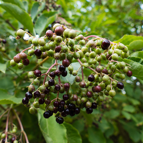 Green, red, black: elderberries ripening