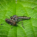 Kite-tailed Robberfly - Tolmerus (Machimus) atricapillus