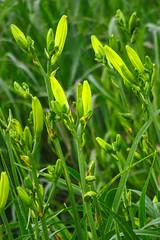 Yellow Daylily Buds