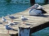 Pelican and Seagulls