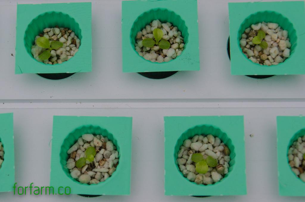 ปลูกผักไฮโดรโปนิกส์ ด้วยวัสดุปลูก เพอร์ไลท์และเวอร์มิคูไลท์