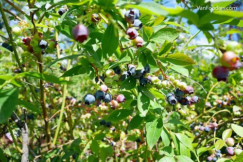 Covert Farms Family Estate Blueberry Picking